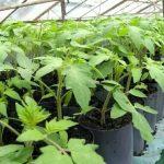 Чем я подкармливаю помидоры в первый месяц после пикировки, чтобы стебли были мощными и крепкими. И чем не подкармливаю