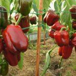 Сладкий перец: 7 «рассекреченных» правил богатого урожая