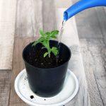 Как поливать рассаду томатов, чтобы она росла крепкой и не болела