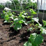 Что я кладу на дно ёмкости при выращивании рассады огурцов и всегда получаю здоровую коренастую рассаду