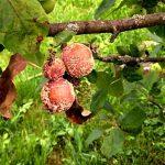 Что нужно сделать с яблоней весной, чтобы не плакать над яблоками гниющими прямо на дереве. Делюсь своим опытом
