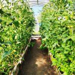 Говорят, что нельзя выращивать огурцы с помидорами или перцами в одной теплице. А как на самом деле