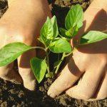 Правила выращивания здоровой и крепкой рассады перцев