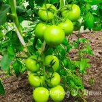 Сколько кустов томатов посадить в теплице 3х6 и как собрать больше 100 кг урожая за сезон